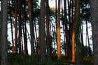 Forêt landaise au crépuscule