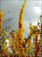 Forsythia au mieux de sa floraison
