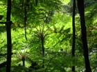 Fougère arborescentes