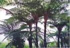 Fougères arborescentes