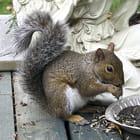 Francis l'écureuil