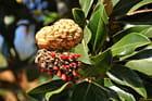 Fruit du Magnolia