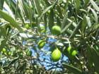 Fruit vert de la provence