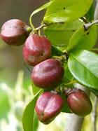 Fruits de camellia