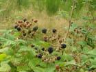 Fruits des bois (mûres)
