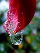 Fuchsia  et sa goutte glacée