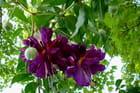 Fuchsia retombant