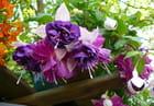 Fuchsias à fleurs doubles