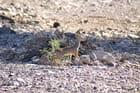 Gazelle de Djibouti