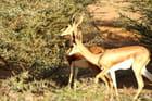 Gazelles à l'heure du déjeuner