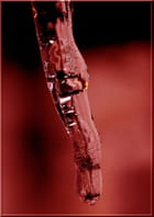 Gelée rouge