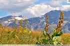 Gentianes jaunes (Vanoise)