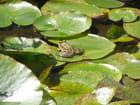 Gentille petite grenouille