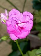 Géranium (2)