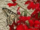 Géranium et papillon