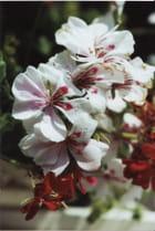 Géranium lierre double