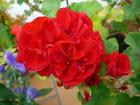 Géranium rouge à fleurs doubles