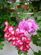 Géraniums-lierres
