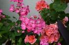 Géraniums (rose et saumon)