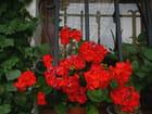 Géraniums rouges en prison
