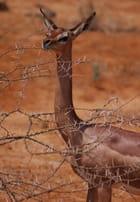 Gerenuk ou Gazelle Girafe