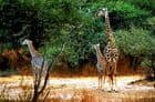 Girafe avec deux girafons