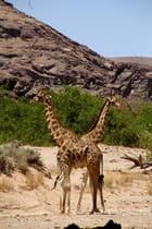 Girafe bicéphale !!!