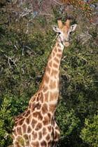 Girafe et son oiseau