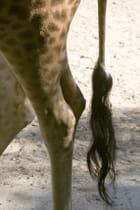 Girafe,la queue