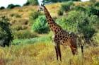 Girafe masaï dans un décor superbe