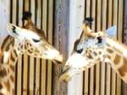 Girafes calin et tendresse