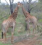Girafes curieuses