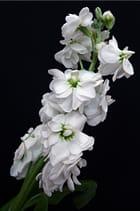 Giroflée blanche