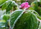 Givre matinal sur le rosier Rugosa Hansa