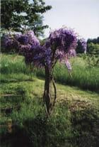 Glycine conduite en arbuste