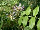 Glycyrrhiza uralensis