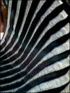 Gracieux plissé d'un tissu zébré