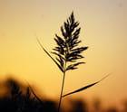 graminée dans le soleil couchant