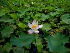 Grand étang (6)-(Fleurs)