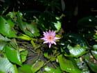 Grand étang (7)-(Fleurs)