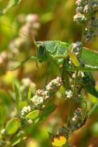 Grande sauterelle verte...