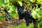 Grappes de raisin noir...