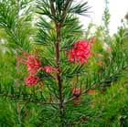 grevillea juniperina (pour Patrice)