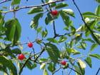 Griottes sur l'arbre