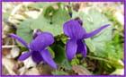 Gros plan sur deux petites violettes