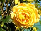 Gros plan sur la rose