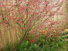 Groseillier en fleur
