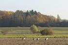 Grues cendrées dans les champs