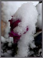 Gueules-de-Loup et neige