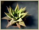 Haworthia limifolia variegata